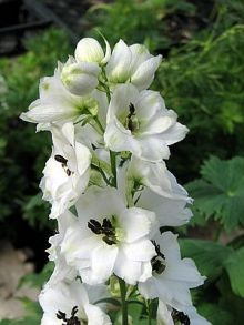 Magic Fountain White delphinium ::  full sun to light shade
