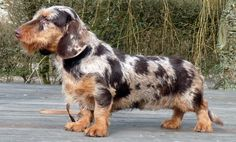 Absolutely stunning chocolate and tan wirehair dapple dachshund.. This will be my next doxie! Well, not this particular one.. but since getting Sophie and falling in love with the chocolate and tan dapple color scheme, and wanting a wirehair next... this is it!!