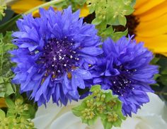 Florissimo - Flowers for weddings and events in Shropshire. CORNFLOWER, MAY-OCT. From Florissimo Flower Directory at https://uk.pinterest.com/ByFlorissimo/flower-directory/ | Blue