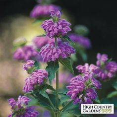 Kashmir Sage is an amazingly beautiful plant with showy spires of bright lavender-pink flowers. The huge leaves and stately flower spikes give the perennial great architectural value in the waterwise landscape. A  2004 Plant Select winner. Drought resistant/drought tolerant plant (xeric).