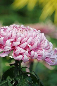 Chrysanthemum- flower of the month November