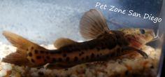 Tropical Fish Store, Aquarium Catfish, San Diego Area, Home Aquarium, Cichlids, Tiger, Freshwater Fish, Pet Shop, Fresh Water