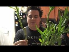 How To Propagate Your Lucky Bamboo - YouTube ~ He has the best info on Lucky/Ribbon Bamboo