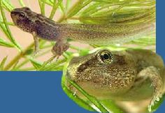 The tadpoles grow legs and start to change into frogs