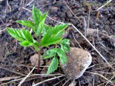 Трава СНЫТЬ - чудо сорняк. Дар природы человеку!!!