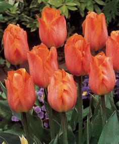 Tulip Bestseller - Single Early - Tulips - Flower Bulbs Index