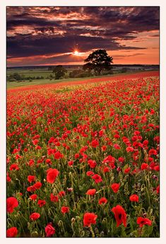Poppy Heaven - Coleshill, England, UK