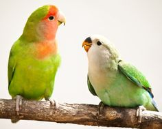 Adult and young peach-faced lovebird