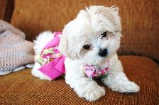 Too cute for words! Maltese Puppy.