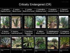 Factsheet - Encephalartos