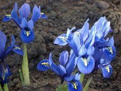 Esta semana los ramos de Iris Blue Magic están de promoción en Quedeflores.com. Irises by elmyra, via Flickr