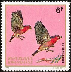 Red-billed Firefinch (Lagonosticta senegala senegala)