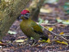 Red-collared Woodpecker Picus rabieri - Google Search