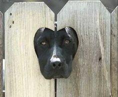 Black Labrador face through fence heart cut out
