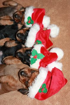 Miniature Dachshund Puppies ready for Santa!