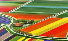 Hollanda'da bulunan lale bahçeleri