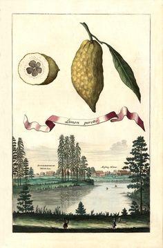 Limon peretto. Volkamer, Johann Christoph, 1708. Nürnbergische Hesperides. (University of Halle)