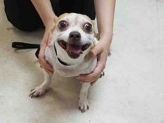 Staten Island PENNY – A1116481 UNKNOWN GENDER, TAN / WHITE, CHIHUAHUA SH MIX, 5 yrs STRAY – EVALUATE, HOLD FOR ID Reason OWNER DIED Intake condition EXAM REQ Intake Date 06/25/2017, From NY 10312, DueOut Date 06/28/2017,