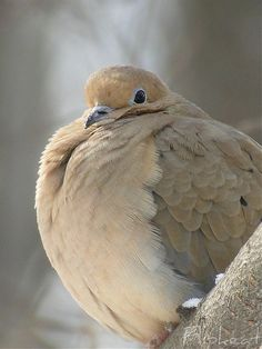 Mourning Dove - When Doves Cry