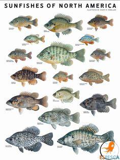 Infografías de peces 32
