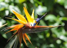A honey sucker bird enjoys the nectar from a bird of paradise flower after the rains in Harare | image by Alexander Joe