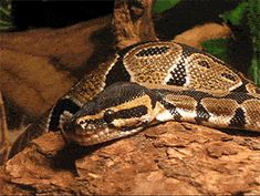 animated! in case you weren't aware snakes yawning are...