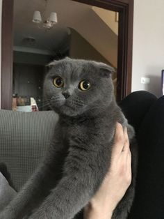 Munchkin Cat Scottish Fold, Scottish Fold Kittens, Crazy Cat Lady, Crazy Cats, Funny Animals, Cute Animals, Cat Species, Cat Aesthetic, Cat Names
