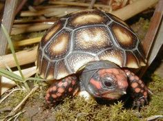 cherry head turtle red foot tortoise