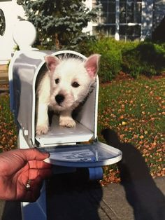 :)This little Westie made picking up the bills much more fun! | 42 Of The Most Important Puppies Of All Time.