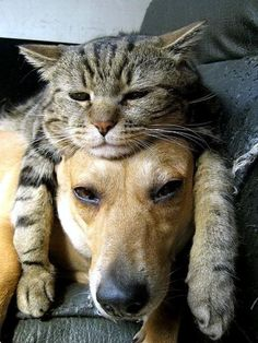 tired cat on dogs head