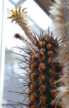 Trichocereus Cephalomacrostibas (Nomen Nudum) - http://trichocereus.net/trichocereus-cephalomacrostibas-nomen-nudum/