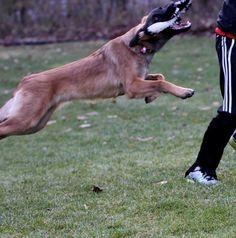 Él es un perro muy fuerte y poderoso.