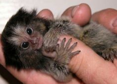 """Finger monkeys are, as a matter of fact, pygmy marmosets. They are also known by the names """"pocket monkey""""and """"tiny lion"""". This cute little primate hugs and grips on to your finger so tight that it pulls your heartstrings and you wish you could take it home with you. The finger monkey is the tiniest living primate in the world. It's so small that it can hold on to your finger."""