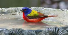 Painted Bunting, Pure Beauty, Birds, Pure Products, Songs, Friends, Animals, Insects, Amigos