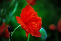 Charlotte's Poppy | Flickr - Photo Sharing!