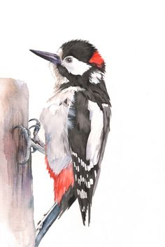 Woodpecker watercolour print A4 size WP5515 Woodpecker print - woodpecker painting - Uk woodpecker painting - great spotted woodpecker by LouiseDeMasi on Etsy https://www.etsy.com/listing/249050310/woodpecker-watercolour-print-a4-size
