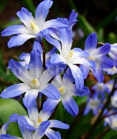 """5 """"Glory of the Snow"""" Chionodoxa early flower bulbs Naturalize *Pre Chilled for Winter Indoor Forcin Shade Flowers, Bulb Flowers, Tall Clear Vases, Glory Of The Snow, Fall Plants, Garden Borders, Types Of Plants, Colorful Flowers, Beautiful Flowers"""