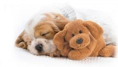 Cavalier King Charles Spaniel Puppy, so adorable! Cavalier King Charles, King Charles Spaniel, Sleeping Animals, Sleeping Puppies, Tier Wallpaper, Dog Wallpaper, Puppies Wallpaper, Perros Wallpaper, Widescreen Wallpaper