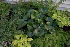 Shade Gardens - Himalayan maidenhair fern and leopard plant