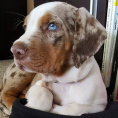 Findley our Catahoula Red Tick Coonhound, Cute Puppies, Cute Dogs, Catahoula Cur, English Coonhound, Leopard Dog, Kitten Love, Hound Dog, Hunting Dogs