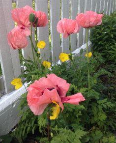 Jeg nyter blomstringen på orientvalmuen hver eneste dag blomstene står - dessverre er det ikke så lenge, men den er desto vakrere de få dagene den lyser opp i bedet <3 / I´m really enjoying my poppy every day - unfortunately it´s not blooming very long, so i have to enjoy every day of it <3   30.5.2015 / IJ