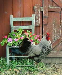 Shop for rooster art from the world's greatest living artists. All rooster artwork ships within 48 hours and includes a money-back guarantee. Choose your favorite rooster designs and purchase them as wall art, home decor, phone cases, tote bags, and more! Farm Animals, Cute Animals, Gallus Gallus Domesticus, Chickens And Roosters, Fancy Chickens, Hens And Chicks, Down On The Farm, Farms Living, Tier Fotos