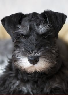 The Miniature Schnauzer is a small sized dog breed of Schnauzer type that originated in Germany. Miniature Schnauzer is a rob. Miniature Schnauzer Puppies, Schnauzer Puppy, Schnauzers, Black Schnauzer, Schnauzer Nano, Cute Puppies, Cute Dogs, Dogs And Puppies, Fun Dog