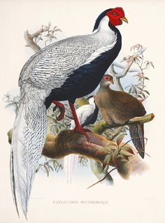 Masterpiece Art - Euplocomus Nycthemerus, $21.00 (http://www.masterpieceart.com.au/euplocomus-nycthemerus/)