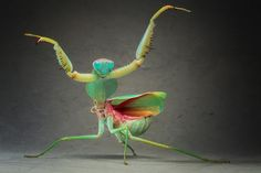 Giant Malaysian Shield Praying Mantis by Igor Siwanowicz