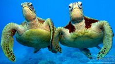 These two Green turtles, known as Shelley and Casey, were photographed by Troy from Oceanic Imagery as he swam at Moore Reef, part of the Great Barrier Reef in Queensland. <3
