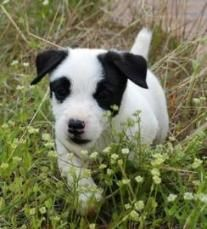 Bearcreek Jack Russell's puppy