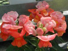 Good morning 。 おはようございます。今朝は金魚草とともに・・・。みなさん、きょうも素敵な一日を!