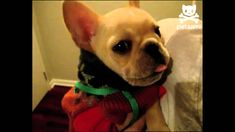 It's usually parrots that have the reputation for repeating what their owners say to them, but this time it's a cute, little pup wrapped in clothes that tell... my next dog: FRENCH BULLDOG