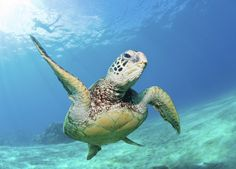 snorkeling in maui | Scuba Diving near our South Maui Condo Rentals | Kihei Maui Hawaii